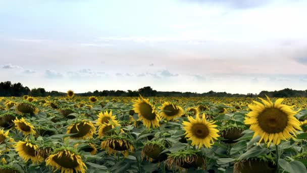 Sunflowers field time lapse, flowering sunflowers on a sky background
