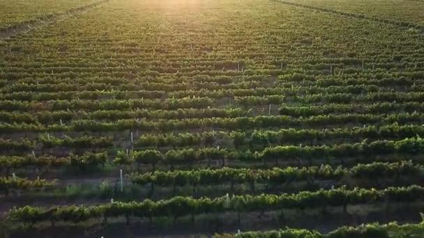 letecký pohled na Vinici za úsvitu, hrozny hroznů v ranním slunci, modré hrozny při východu slunce antény, Vinice červené vinné hrozny na vinici ve vinařství