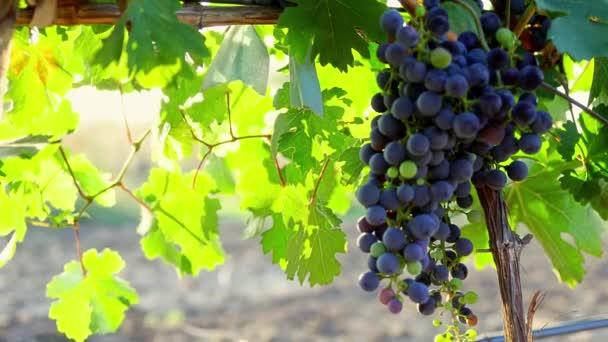 Vineyard at dawn, bunches of grapes in the morning sun, blue grapes at sunrise close up, Blue Grapes In Vineyard, Vineyard red wine grapes on the vine at winery, Vineyard at dawn