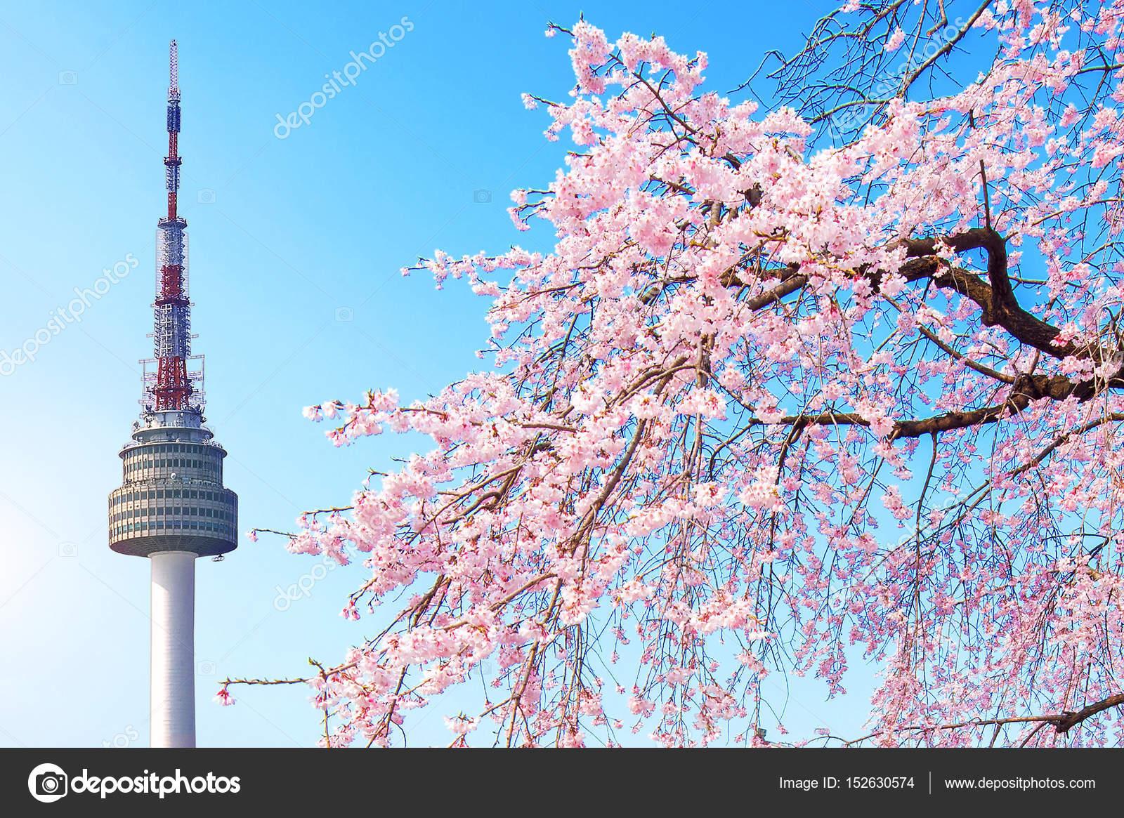 Préférence de Séoul et de fleur de cerisier rose, Sakura saison au printemps  LZ79