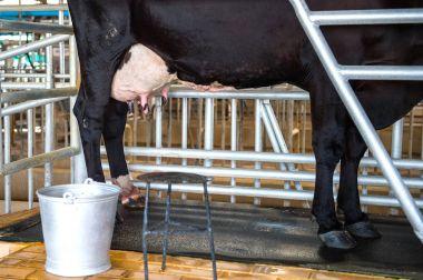 Cow udder in farm.