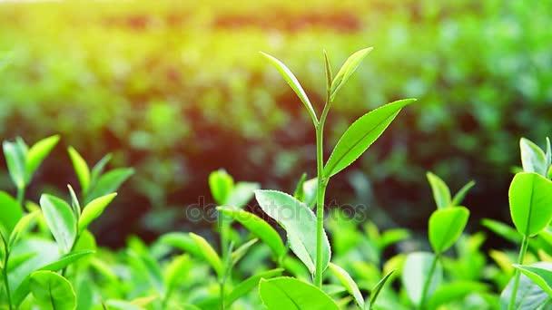 Piante di tè verde e luce solare. Priorità bassa della natura