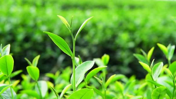 piante di tè verde