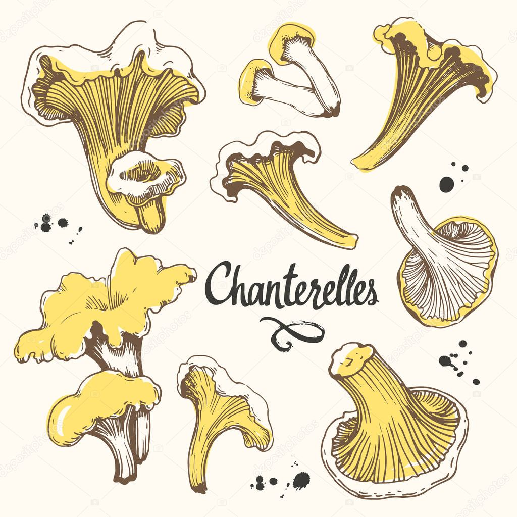Vector illustration with set of mushrooms in sketch style. Hand-drawn chanterelles on white background. Delicatessen. Autumn forest harvest.