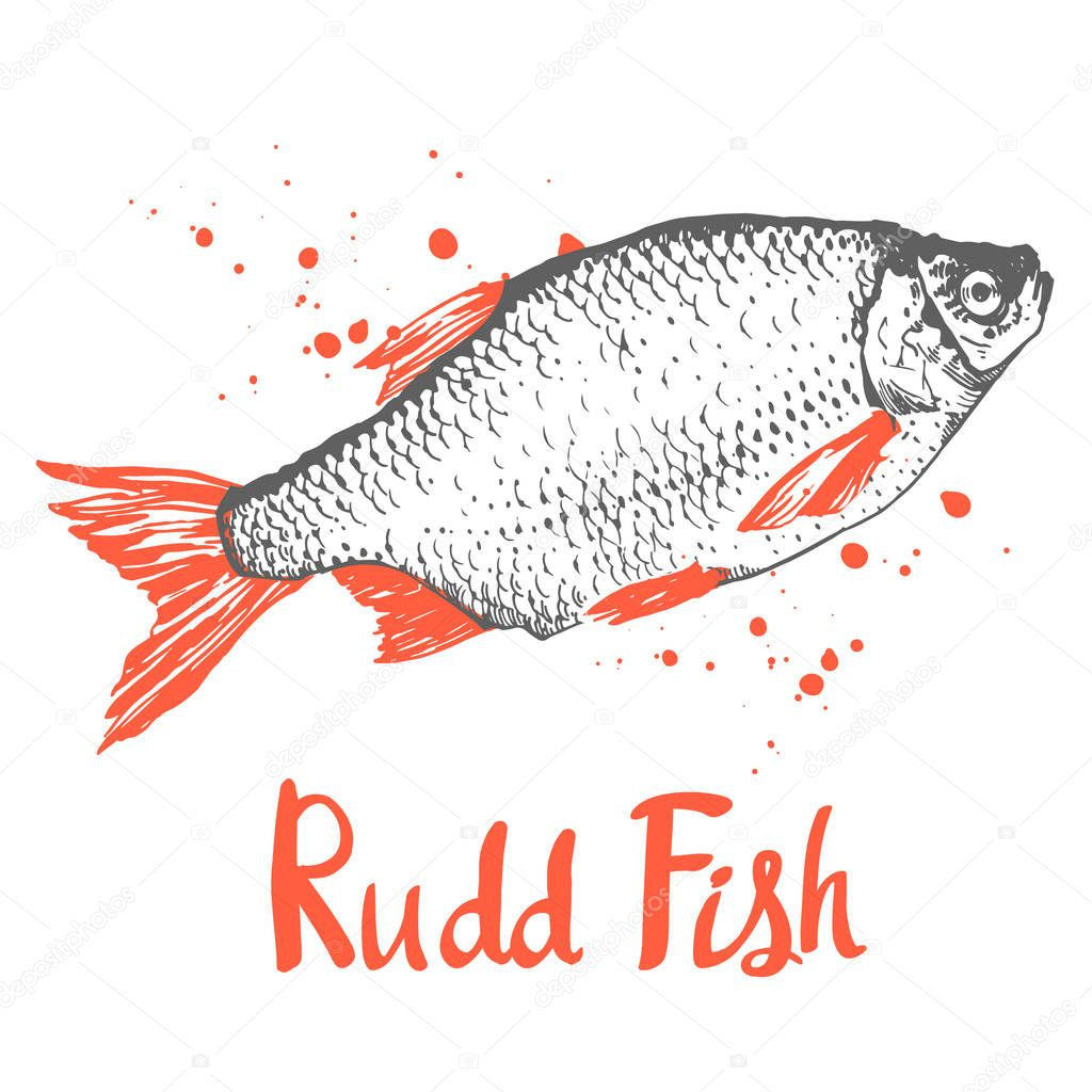Hand drawn vector illustration with sketch rudd fish. Seafood menu. Brush design elements. Handwritten ink lettering.