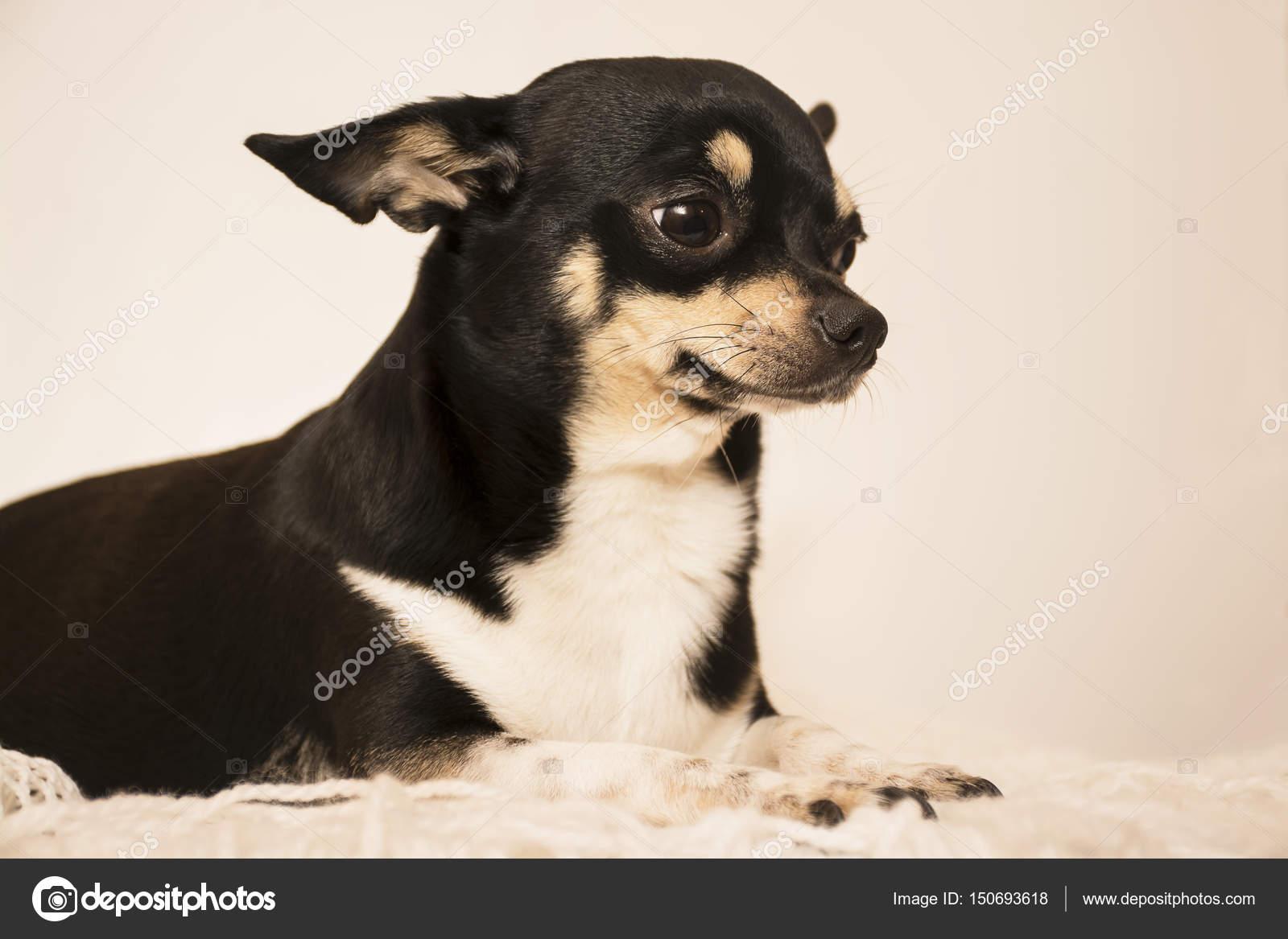 Fotos Perros Raza Chihuahua Chihuahua De Raza De Perro Foto De