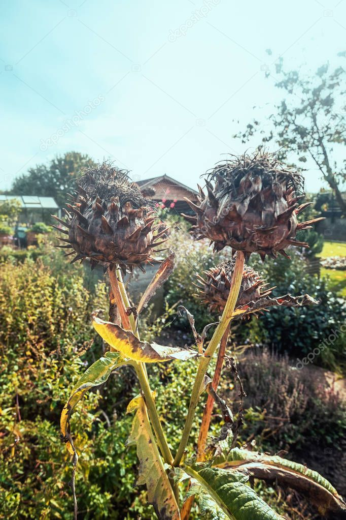 Beautiful closeup of faded thistles in the autumn garden