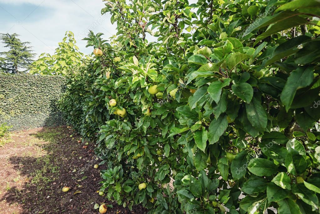 A row of apple trees full of apples in the autumn garden