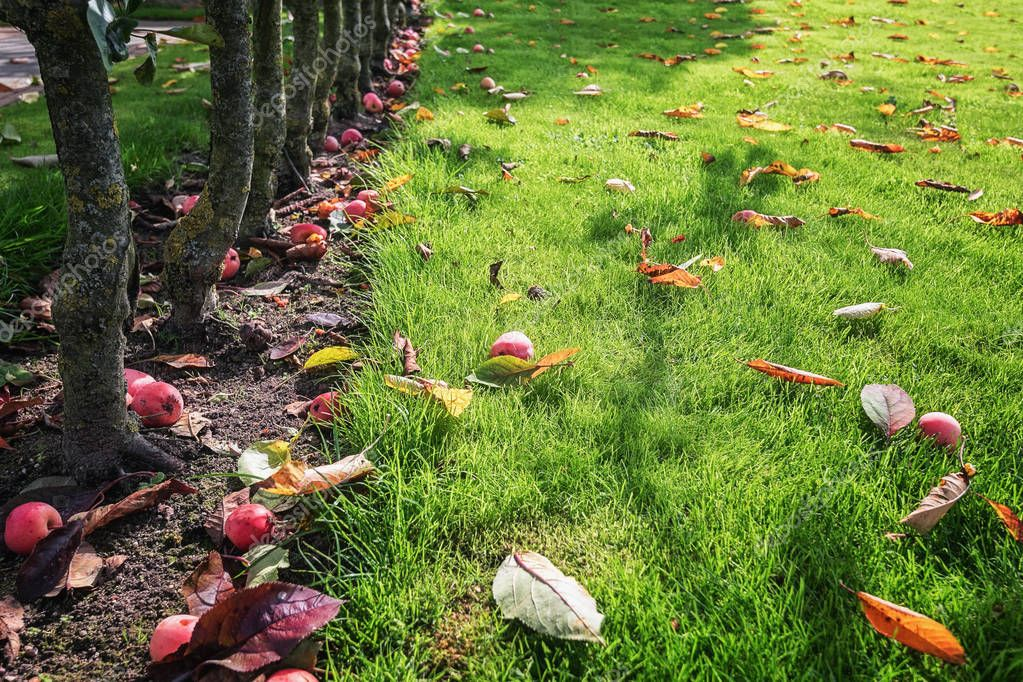 Fallen red apples on the grass in the garden