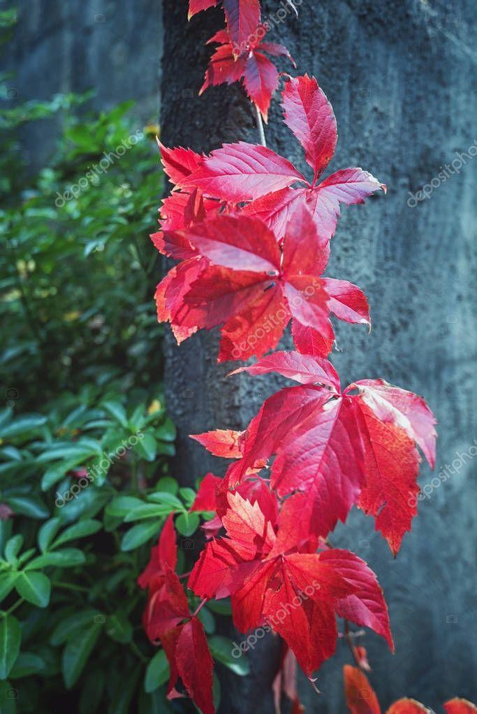 Grape vine in a beautiful red autumn color