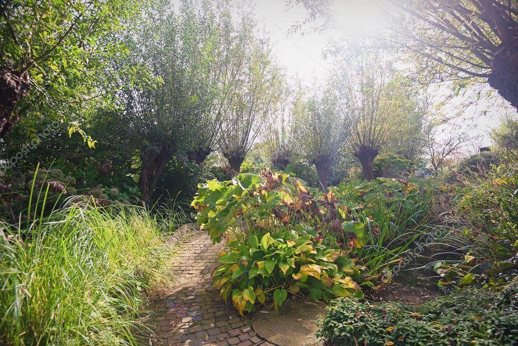 Row pollard willows in the garden