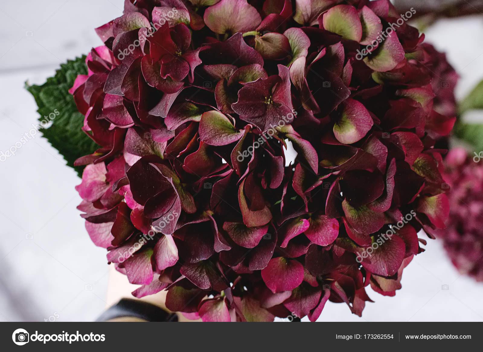 Hydrangea Of Wine Burgundy Color Beautiful Flower White Backgr