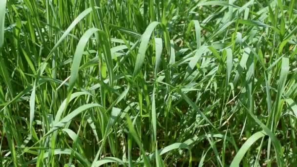 Vibrant green grass background blown by breeze