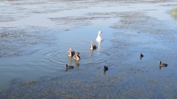 Šedá jednotvárněji Bílá labuť a mnoho lysky