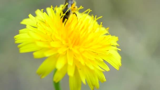 Včela na žluté pampelišky shromažďuje pyl