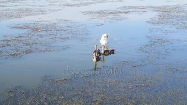 Šedá jednotvárněji s nadřazeným Bílá labuť na vodě