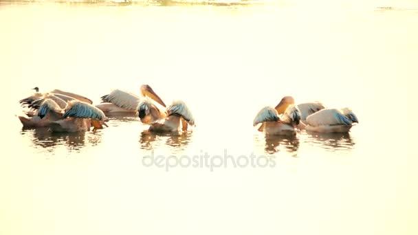 Gruppe der große weiße Pelikane schwimmen auf dem Wasser mit Verbreitung Flügel