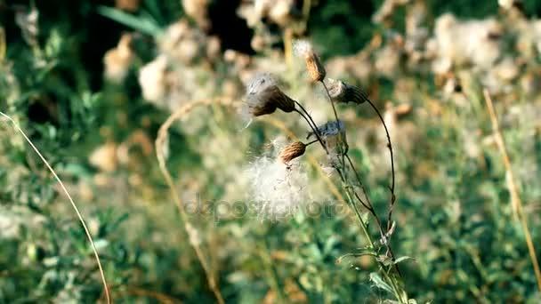 Trockene common Sowthistle Blume mit Flaum