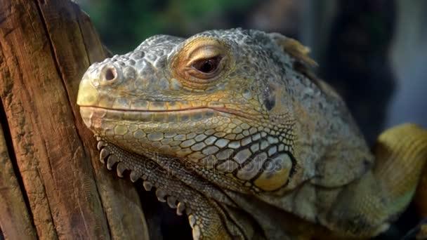 Detail lizard leguán