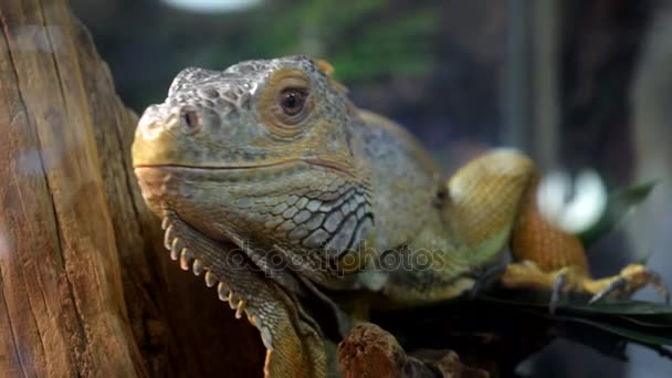 Lizard leguán v pouzdře