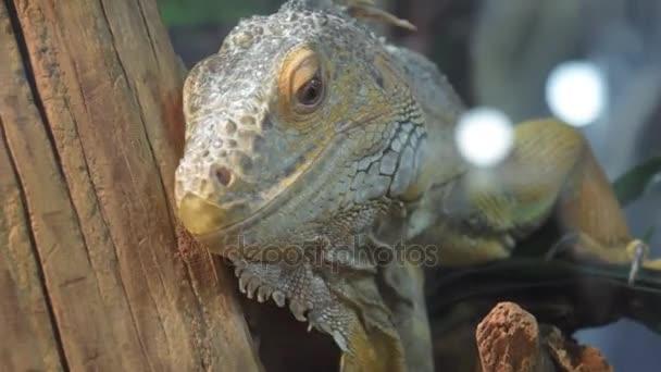 Lizard leguán v kleci za sklem