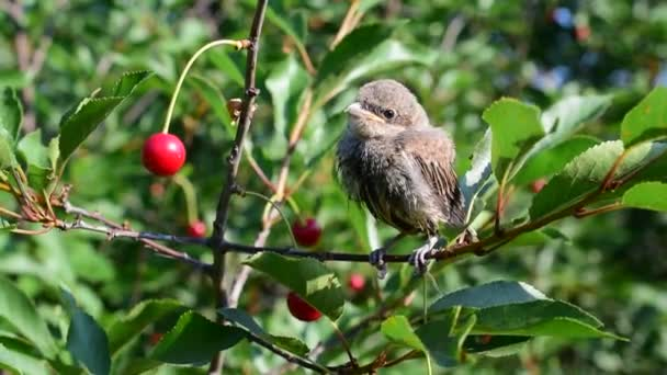Whitethroat fledgling perching on cherry tree twig