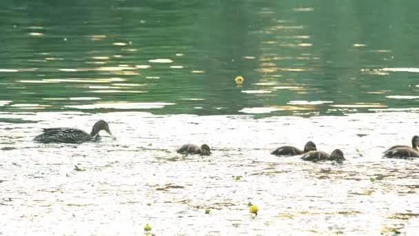 Roztomilý matka kachna s hejno Kachňata v rybníku