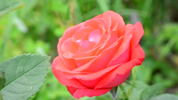 Scarlet rose flower on blurry lush green background in summer