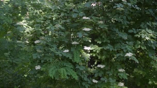 Europäische schwarze ältere Strauch mit weißen Blüten blühen ...