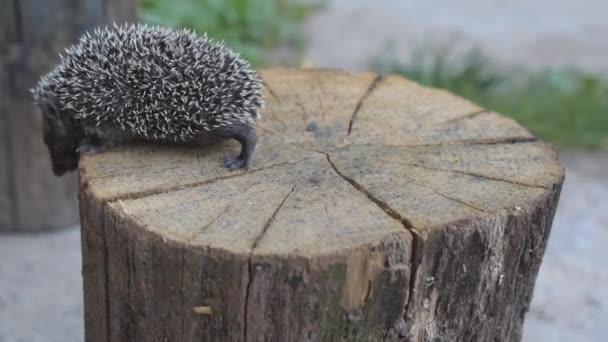 Hedgehog walks on wooden stump