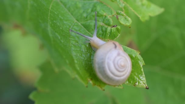 Snail in shell crawls out of frame. Macro shot.