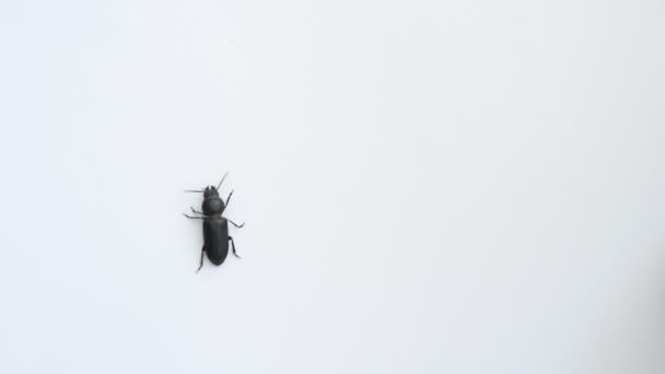 Černý brouk prochází na bílém pozadí