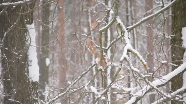 Snow falling in forest on white background of leafless trees