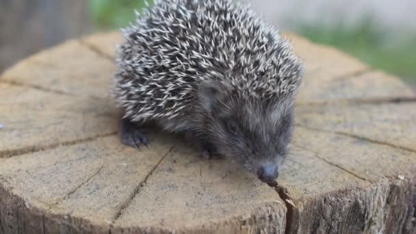 Hedgehog walks on round wooden stump