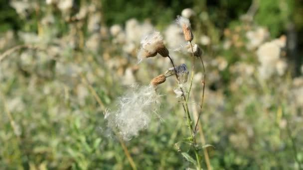 Landschaftlich reizvolle trocken gemeinsame Sowthistle Blume mit Flaum wiegen sich im wind