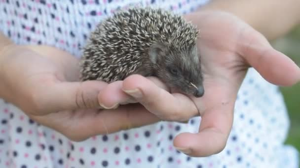Small young hedgehog moves in human hands