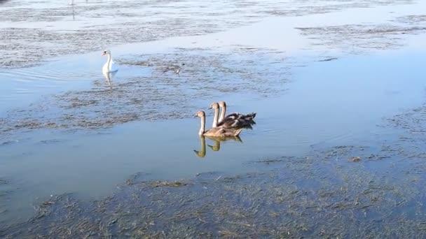 Pro dospělé labuť s třemi jednotvárněji
