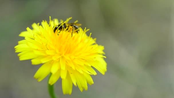 Včela, vystupování na Pampeliška a sběr pylu