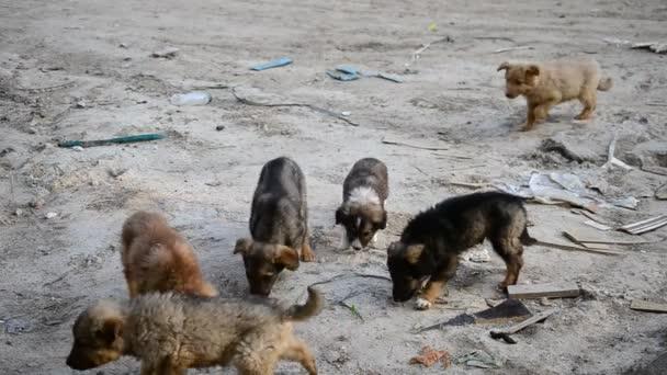 Feeding of many small homeless stray puppies