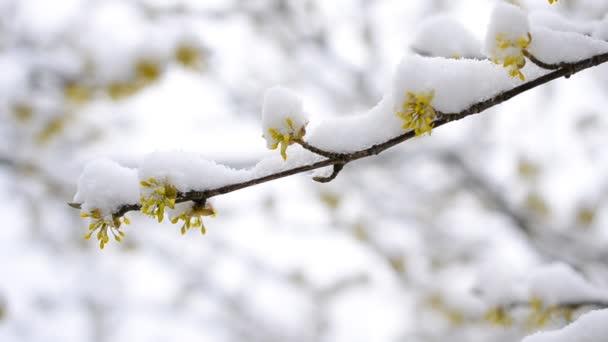 Snow falling on cornealian cherry flowers