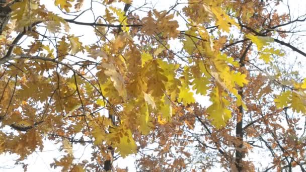 Quercus robur. Branches with yellow foliage of English oak