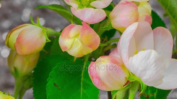 weißer Apfel Baum Blumen — Stockvideo © nao98 #139772006