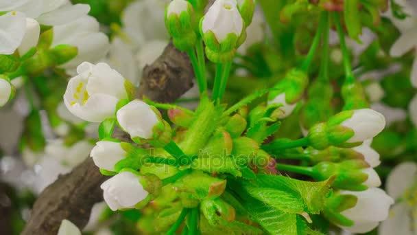 Květiny bílé třešeň