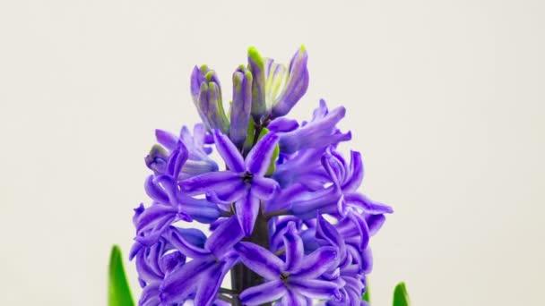Kék Jácint virág virágzó.