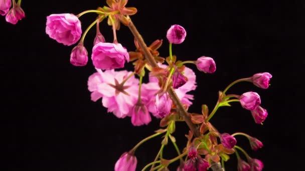 Rózsaszín Sakura Tree virágok.