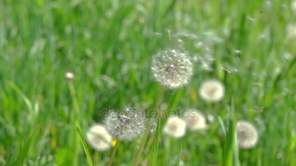 Pampeliška semena foukané ve větru.