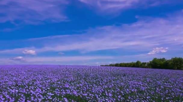 Pole květu lnu