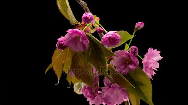 Rózsaszín virágok, virágok, ágak Sakura fát. Sötét háttér előtt. TimeLapse.