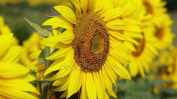 Včela, létání a opylujících slunečnice na slunečný den. Zpomalený pohyb.