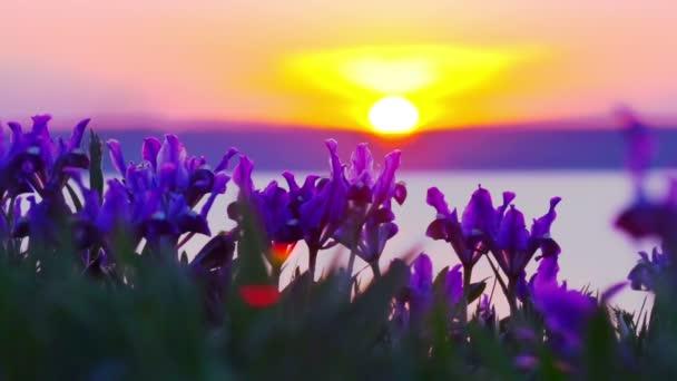 Fialové kosatce na louce kymácí ve větru při západu slunce.